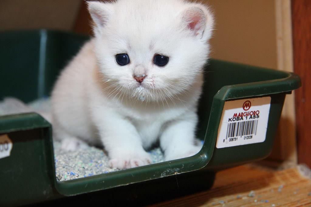 Белый котенок сидит в лотке