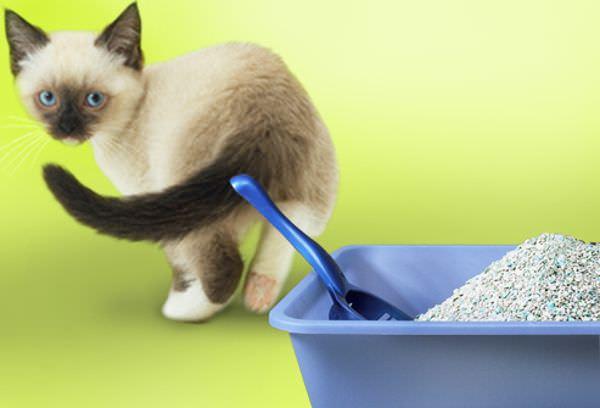 Сиамский котенок и лоток