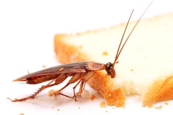 Таракан на хлебе