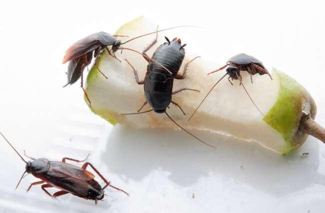 Тараканы на груше