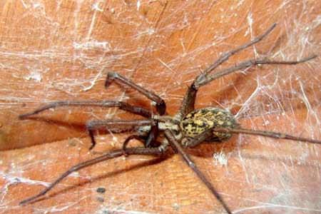 Большой паук в паутине