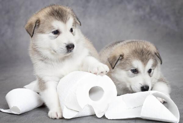 Две хаски с туалетной бумагой