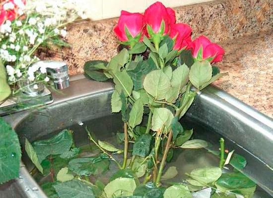 Обработка стеблей роз