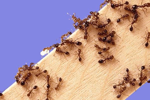 Муравьи на деревянном бруске