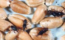 Жучки на зернах