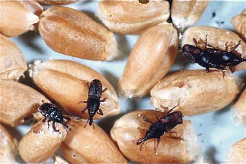 Как избавиться от жука мукоеда