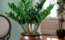 Замиокулькас(долларовое дерево) уход в домашних условиях, фото, пересадка, размножение