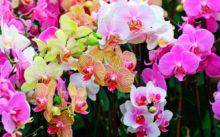 Правила ухода за домашними орхидеями после покупки