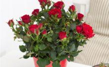 Комнатная Роза: уход в домашних условиях, фото, пересадка, полив