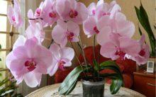 Орхидея (фаленопсис)