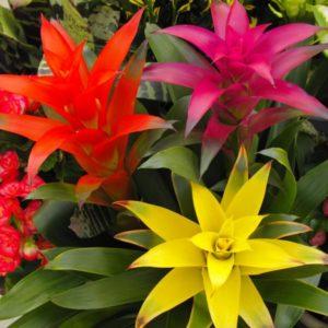 Цветок гузмания: уход в домашних условиях, размножение, посадка, пересадка разных видов и правила полива растения